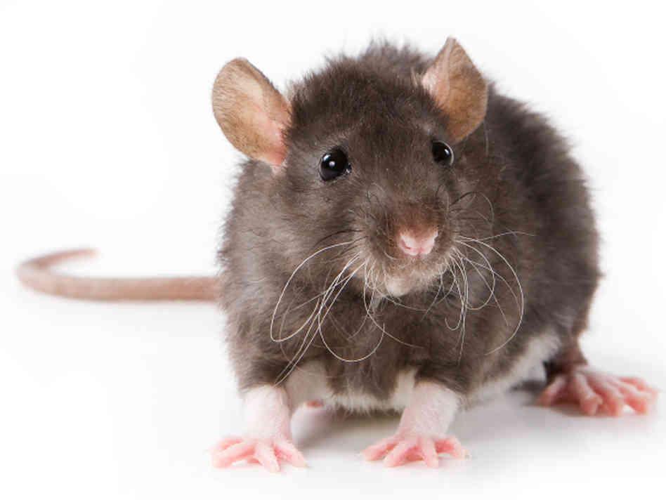 rat-hds
