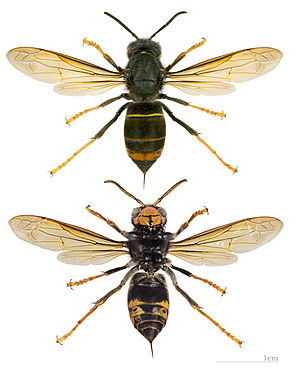 290px-Vespa_velutina_nigrithorax_MHNT