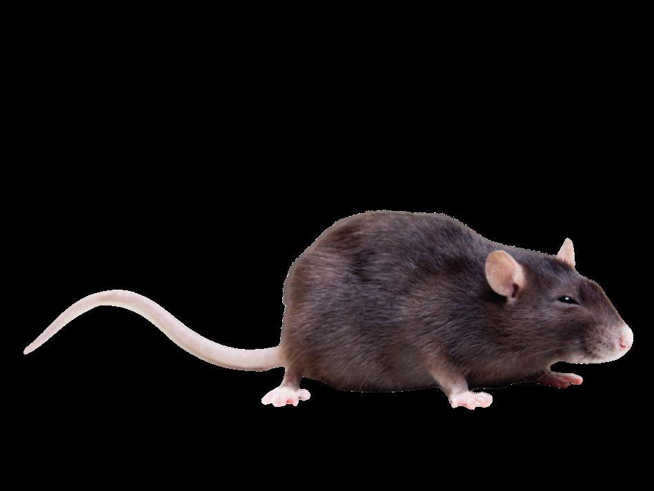 Copie de rat noir sans fond