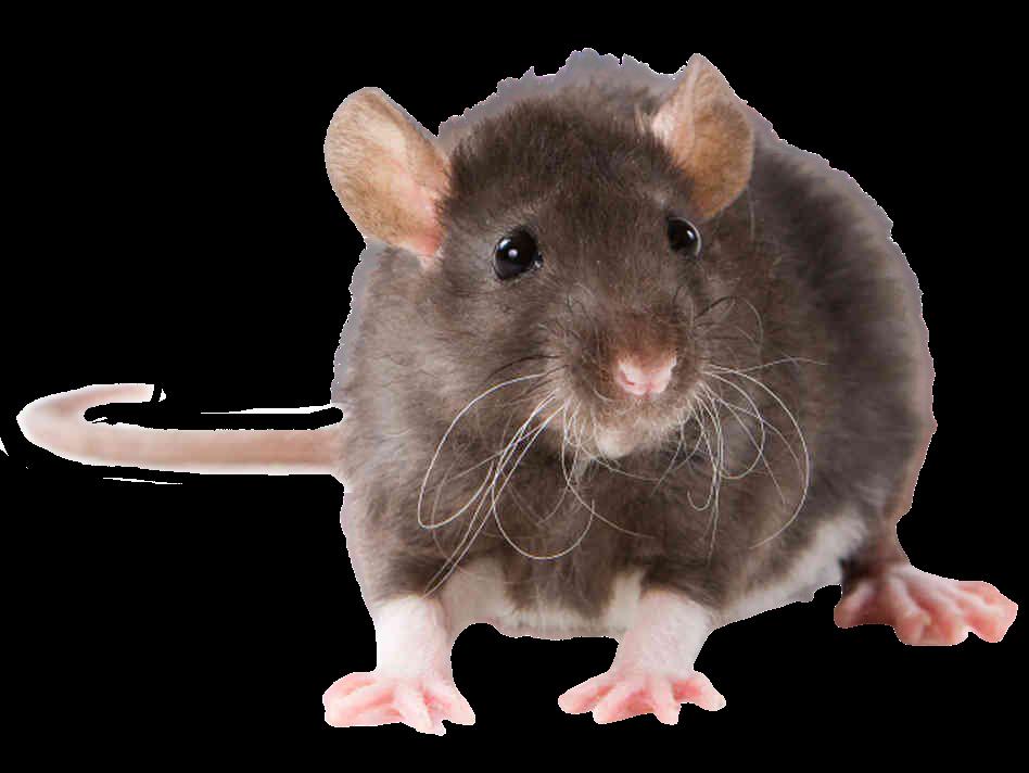 Copie de rat noir sans fond(3)